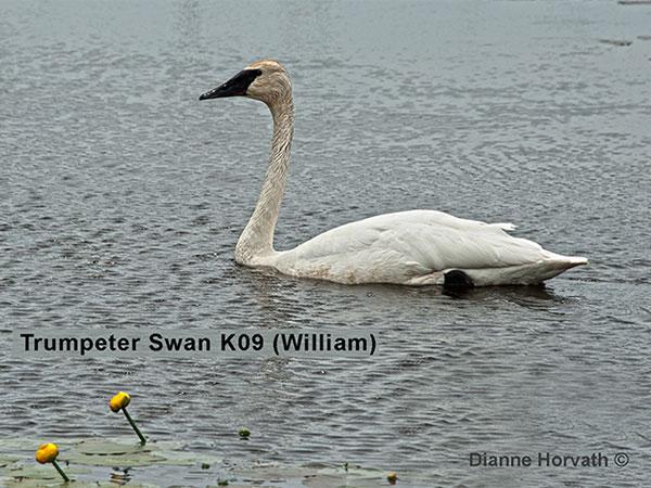 trumpeter swan K09