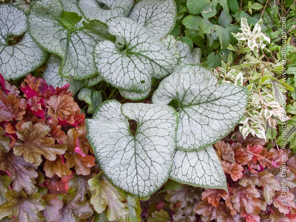 silver foliage of brunnera jack frost