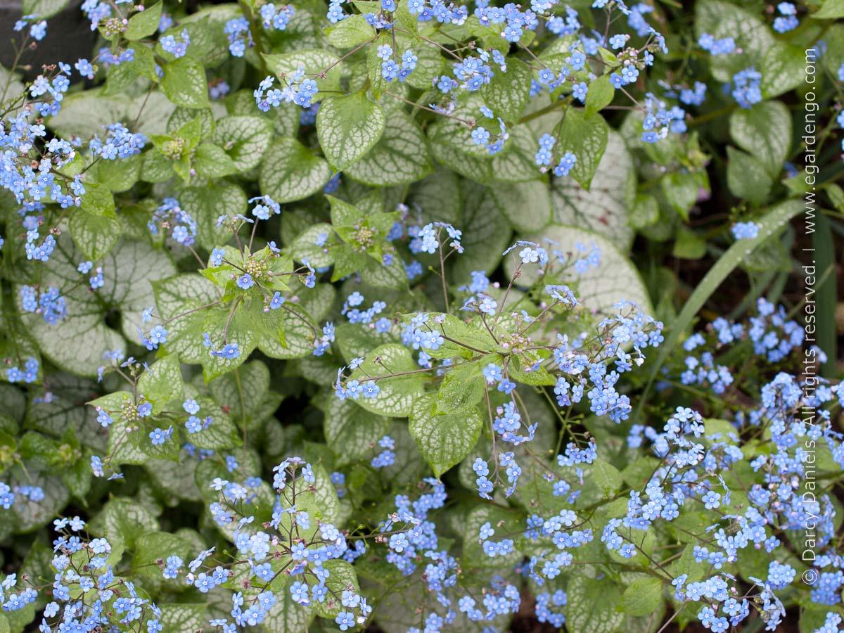 Brunnera 'Jack Frost' flowers